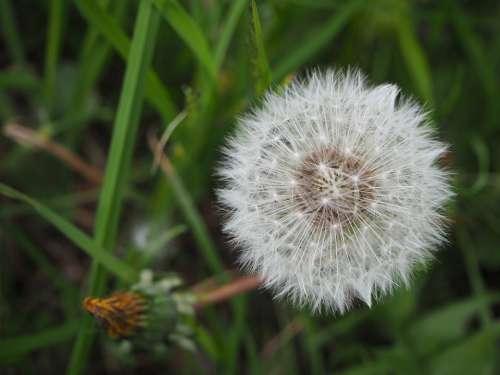 Dandelion Topknot Meadow Flower Spurge