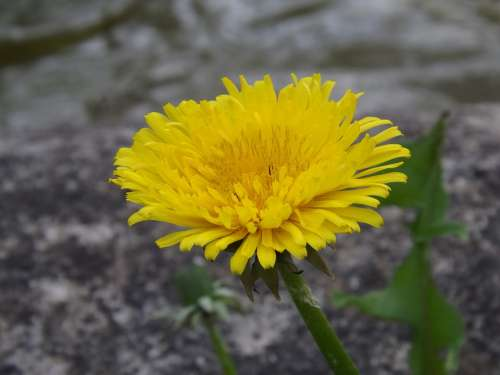 Dandelion Flower Nature Yellow