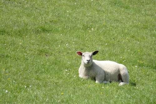 Dike Sheep Lamb Meadow North Sea Dike Mecklenburg