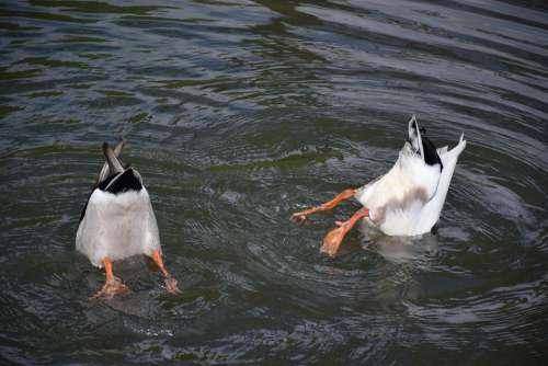 Diving Duck Water Bird Animal Ducks Waterfowl