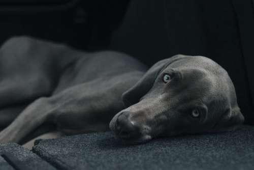 Dog Pet Lying Resting Canine Domestic Animal