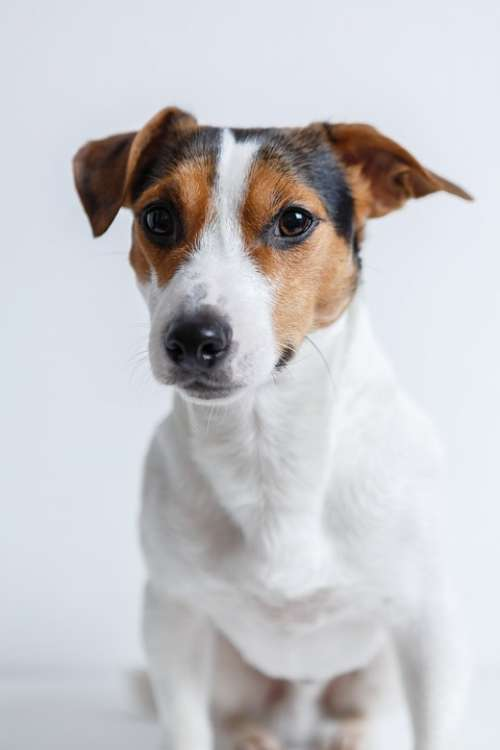 Dog Jack Russell Terrier Puppy Pet Animals Breed