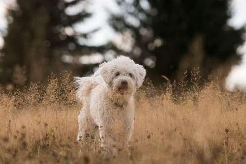 Dog Grass Field White Animal