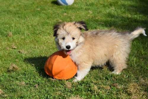 Dog Small Dog Puppy Puppy Ball Animal Cute Nature