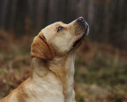 Dog Labrador Sponge Portrait Retriever
