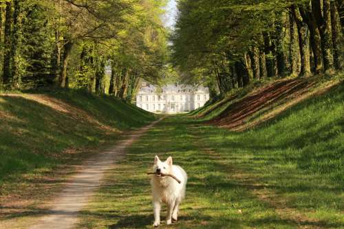 Dog Swiss White Shepherd Animals Animal Mammal