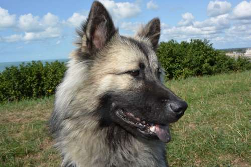 Dog Bitch Dog Eurasier Portrait Profile Dog
