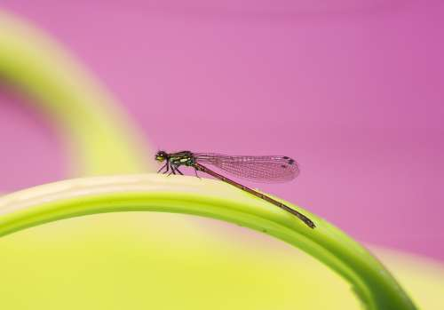 Dragonfly Damselfly Nature Insect Wings Bug