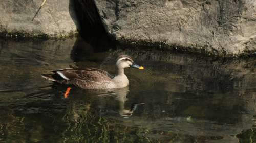 Duck Mallard Duck New Nature Paddle Duck And