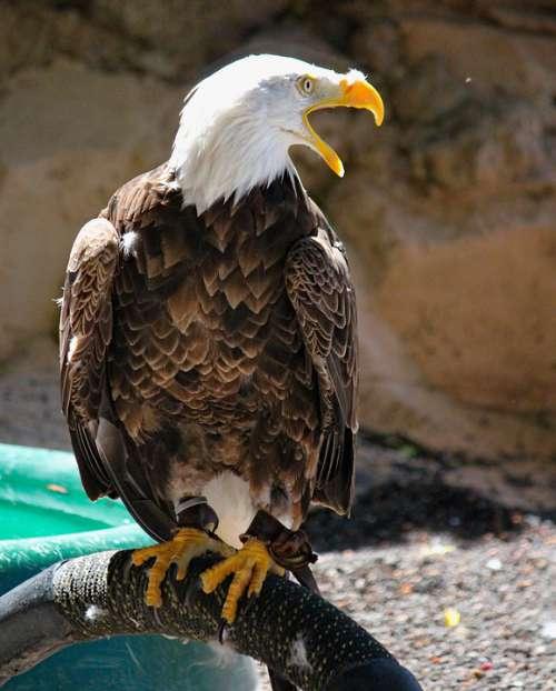 Eagle Bird Predator Animal Beak Feather Zoo