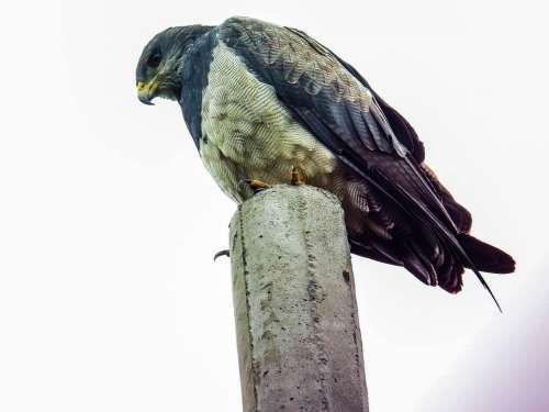Eagle Nature Bird Raptor Animal Feather Plumage
