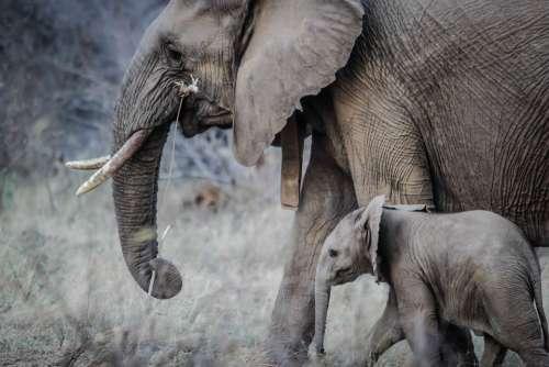 Elephants Baby Mammal Animal Wildlife Africa