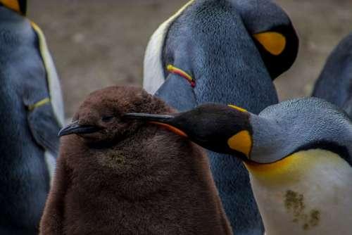 Emperor Penguin Penguin Young Penguin Baby Parents