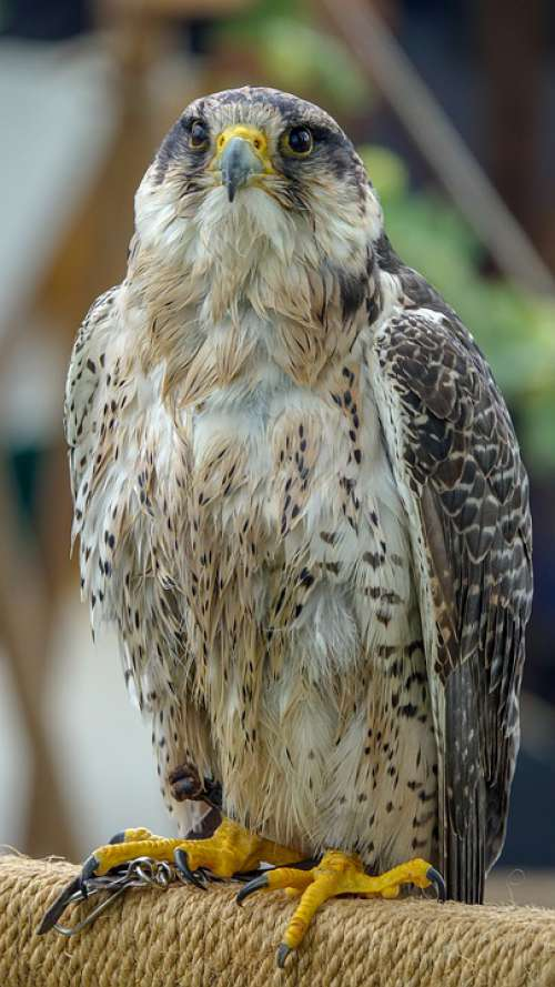 Falcon Bird Nature Animal Wild Animal Predator