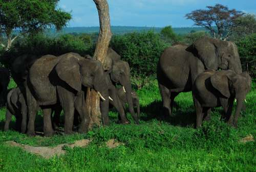 Family Elephants Elephant Africa Nature Safari