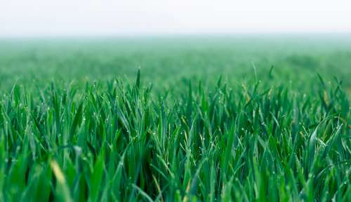 Field Cereals Fog Green Sowing Agriculture
