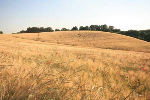 Field Summer Wheat Nature Landscape Agriculture
