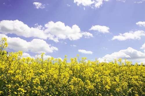 Field Of Rapeseeds Oilseed Rape Landscape Yellow
