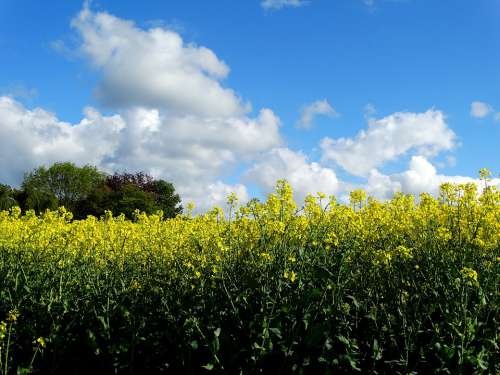 Field Of Rapeseeds Oilseed Rape Yellow Landscape