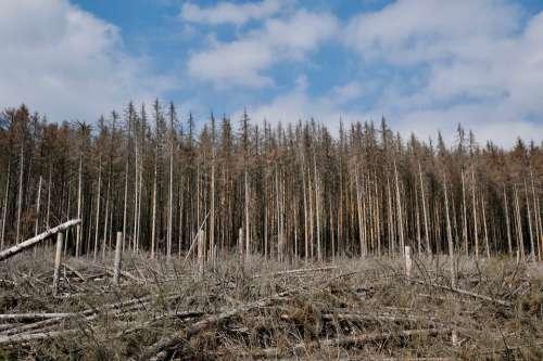 Firs Waldsterben Environmental Damage Bark Beetles