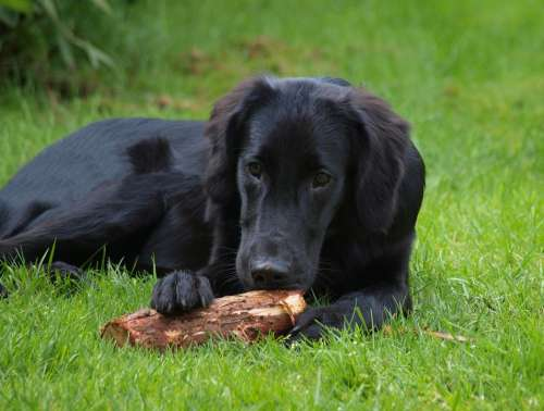 Flatcoated Retriever Flat-Coated Retriever Puppy