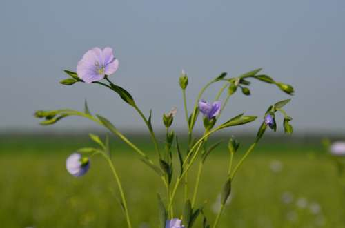 Flax Flowers Close-Up Small Purple Flowers