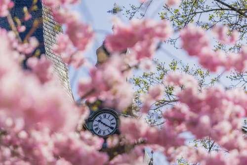 Flower Season Clock Plant Tree Cherry Floral
