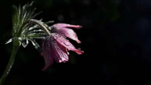 Flower Petals Dark Violet Drip Dew Rain Mourning
