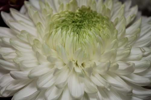 Flower Large Petals Natural White Beautiful