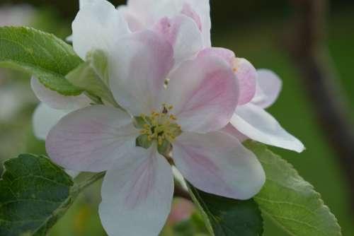 Flower White Pink