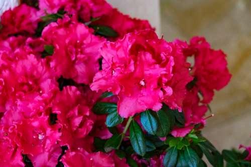 Flower Azalea Spring Pink Rhododendron