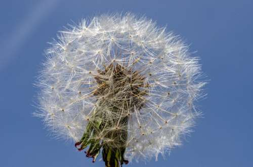 Flower Dandelion Close Nature White Macro