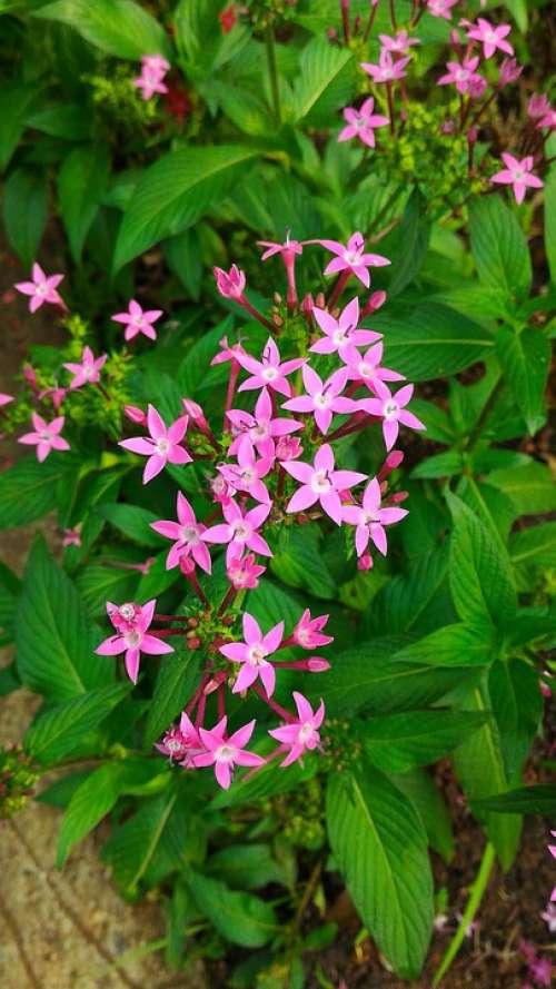 Flower Nature Star Of Egypt Summer Plant Garden