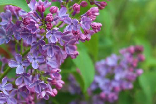 Flower Lilac Purple Spring Fragrant Green