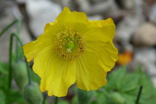 Flower Yellow Poppy Garden Bloom Spring