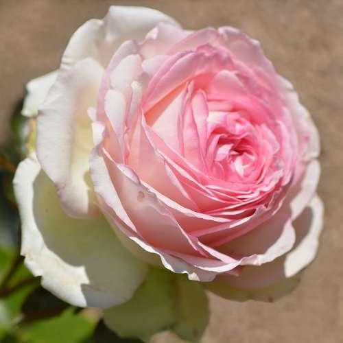 Flower Pink Beauty Nature Garden Flora