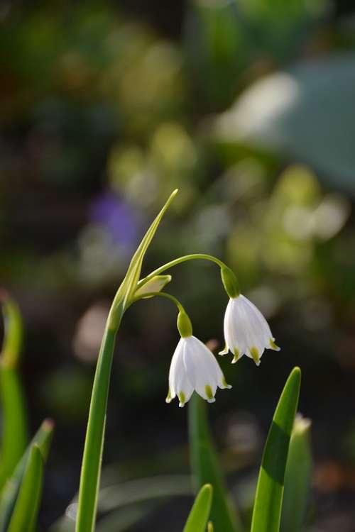 Flower Plant Spring Garden Summersnowflake