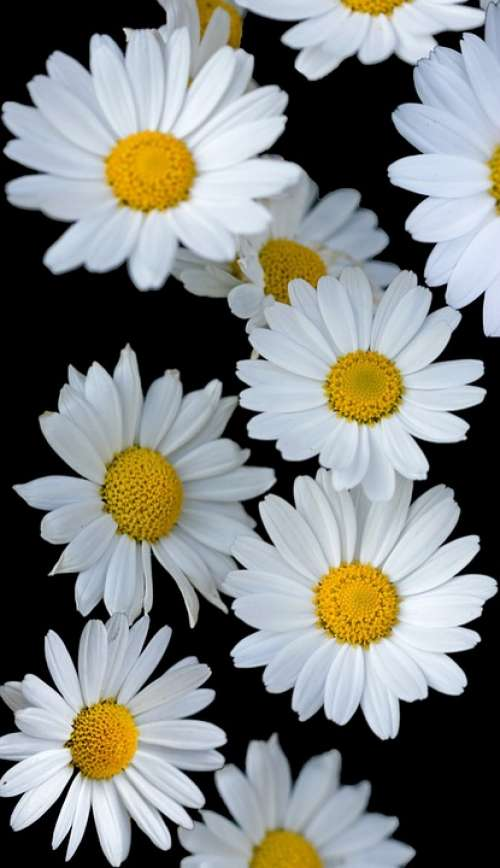Flowers Daisy Daisies White Background Wallpaper