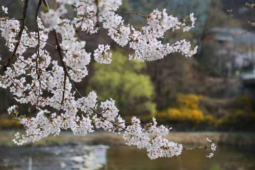 Flowers Cherry Tree Cherry Blossom Cherry Flowers