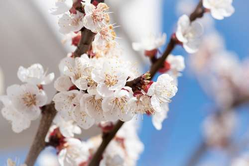 Flowers White Branches Bloom Spring Apricot Tree