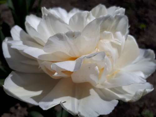 Flowers Rose White Rose Summer Spring Nature Sun