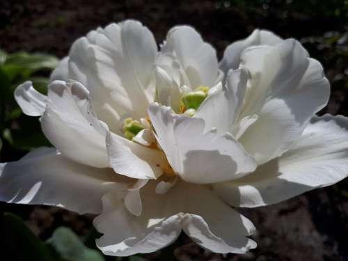 Flowers Rose White Rose Summer Spring Nature Sun