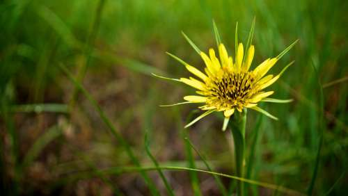 Flowers Salsify Plant Composites Asteraceae Yellow