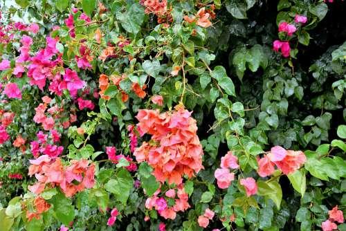 Flowers Colorful Flowering Vines Pretty Blooms