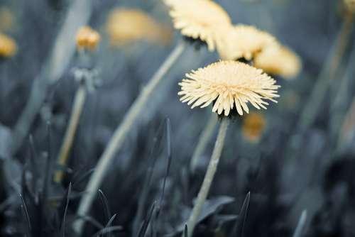 Flowers Dandelion Nature Macro Plant Flora