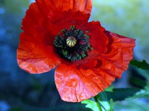 Flowers Poppy Prairie Landscape Red Spring Nature