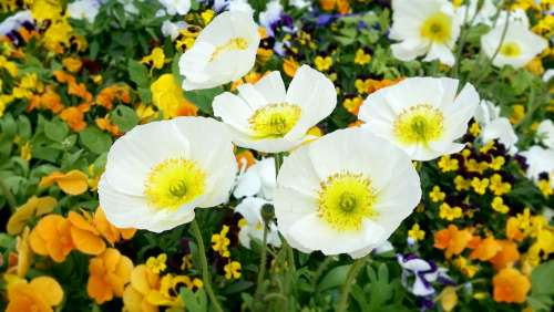 Flowers White Flower White Flowers Plants Nature