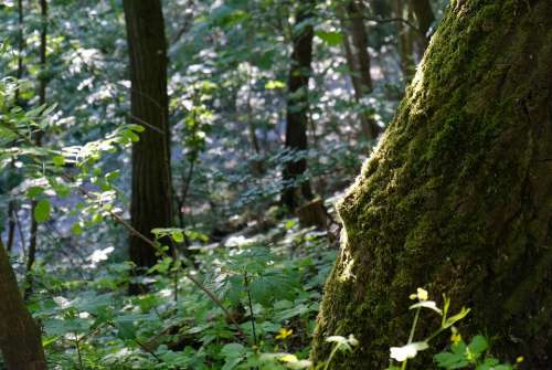 Forest Vegetation Moss Tree Environment