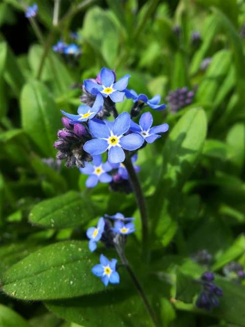 Forget Me Not Flower Nature Meadow Plant Blossom