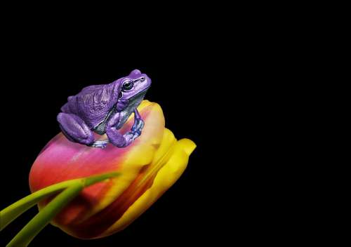 Frog Tulip Flower Animal Nature Art Portrait